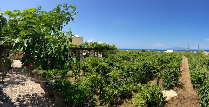 A vineyard at a Santorini winery near Oia.
