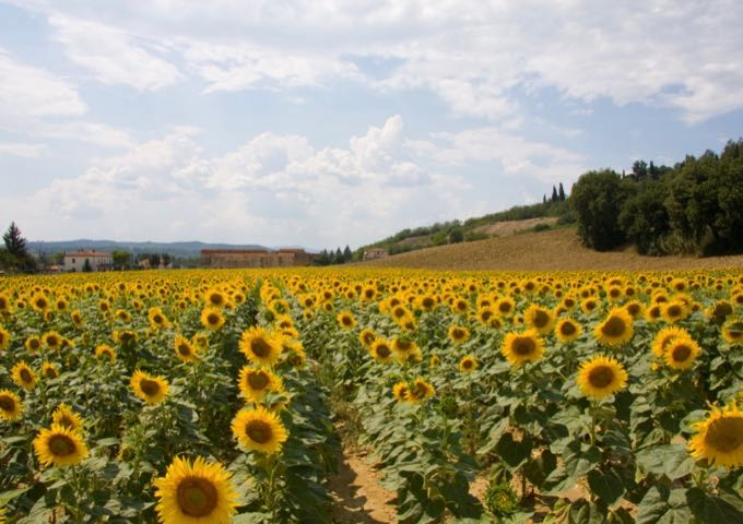 Sunflower field in Tuscany.