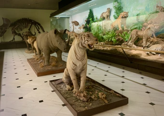 Taxidermied tiger and rhinocerous on display at a museum